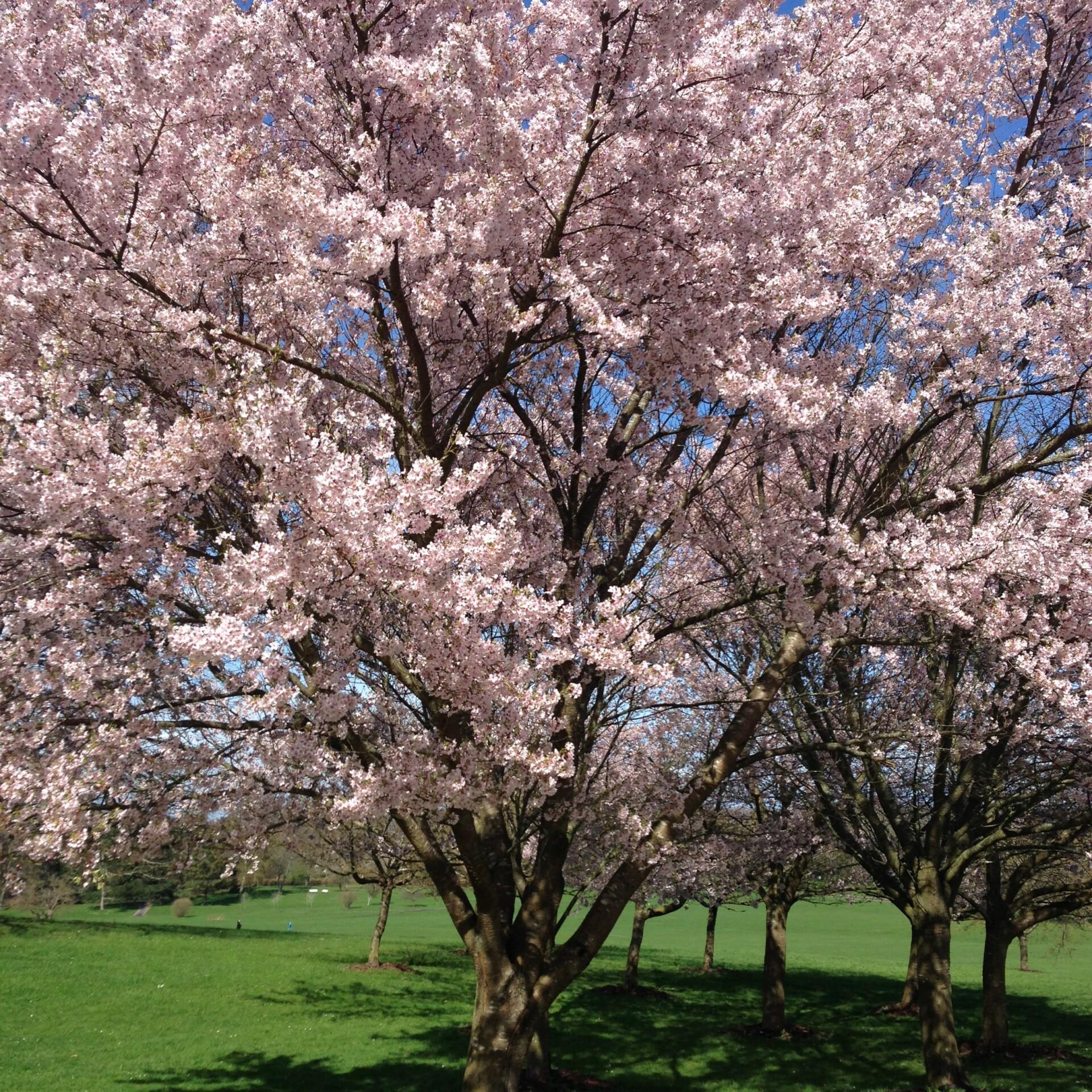 Sakura – se her hvornår kirsebærtræerne blomstrer i Kyoto