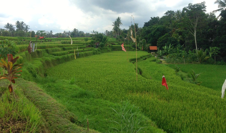 Tag på cykeltur i Ubud og se rismarker