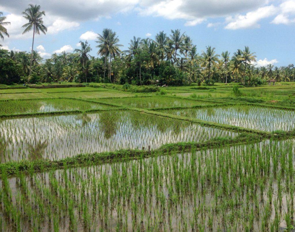 Smukke rismarker nær bud