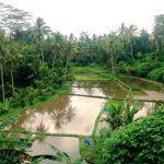 Risterasser på Bali