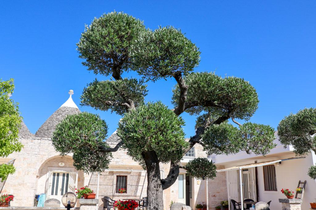 Oliven bonzai en lokal trulli